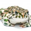 Bufo viridis. Green toad on white background.  — Stock Photo