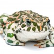 Bufo viridis. Green toad on white background. - Stock Photo