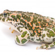 Bufo viridis. Green toad on white background. — Stock Photo #13490529
