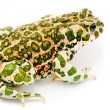 Bufo viridis. Green toad on white background. — Stock Photo #13490530