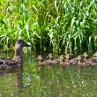 Duck with ducklings swimming in a small pond — Stock Photo