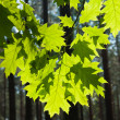 Stock Photo: Spring oak leaves after rain on a background of a blurred sunny