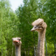 Stock Photo: Portrait of ostriches on nature