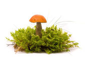 Beautiful Orange-cap boletus mushroom on moss. Isolated on studi — 图库照片