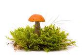 美丽的橙色帽牛肝菌蘑菇苔藓上。孤立在西塔 — 图库照片