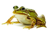 Rana esculenta. Green (European or water) frog on white backgrou — Stock Photo