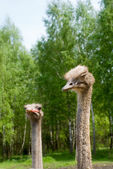 Portrait of ostriches on the nature — Stock Photo