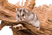 The small hamster sits on a tree. — Stock Photo
