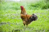 Cock walking on a grass — Stock Photo