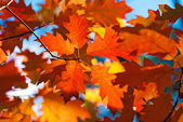 Autumn red oak leaves — Stock Photo