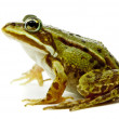 Rana esculenta. Green (European or water) frog on white backgrou — Stock Photo #15784497