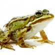 Rana esculenta. Green (European or water) frog on white backgrou — Stock Photo #15784525