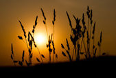 Silhouette of grass on a great summer sunrise background — Stock Photo
