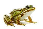 Rana esculenta. Green (European or water) frog on white backgrou — Stock Photo