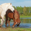 Two horses play in water on spring background — Stock Photo