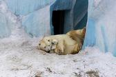 Ijsbeer met cub — Stockfoto