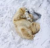 カブとシロクマ — ストック写真