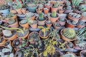 Cactus in Purmamarca, Jujuy, Argentina. — Stock Photo