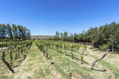 Vineyards in Payogasta in Salta, Argentina. — Stock Photo