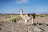 Llama in Salinas Grandes in Jujuy, Argentina. — Stock Photo
