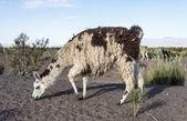 Llama in Salinas Grandes in Jujuy, Argentina. — Stock Photo