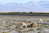 Vicuna in Salinas Grandes in Jujuy, Argentina. — Stock Photo