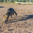 Mountain Fox on El Palmar National Park, Argentina — Stock Photo