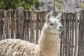 Llama in Purmamarca, Jujuy, Argentina. — Stock Photo