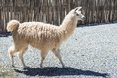 Llama in Purmamarca, Jujuy, Argentina. — Stock Photo