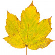 Rusty maple leaf as an autumn symbol — Stock Photo #13297932