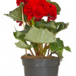 Begonia flower in a pot — Stock Photo