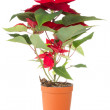 Poinsettia,traditional  Christmas flower - Stock Photo