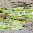 Stock Photo: Duck family in pond