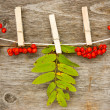 Red rowan  hanging on the clothesline — Stock Photo