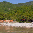 Cow herd in mountain river — Stock Photo