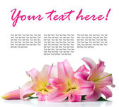 Pink lilies isolated, ready template — Stock Photo