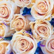 Beige roses closeup, background — Stock Photo