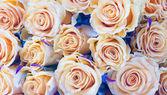 Beige roses closeup, background — Stock Photo