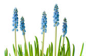 Blue muscari flowers, isolated — Stock Photo