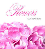 Flowers and petals of pink hydrangea — Stock Photo