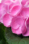 flowers and petals of pink hydrangea — Photo