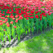 Stock Photo: Bright red tulips