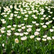 Stock Photo: Lot of white tulips