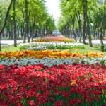 Alley of bright multi-colored tulips — Stock Photo #24869383