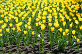 Lot of bright yellow tulips — Stock Photo