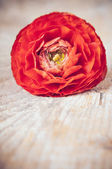 One red-orange buttercup flower — 图库照片