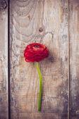 毛茛花 — 图库照片