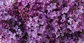 淡紫色的花,花的背景 — 图库照片