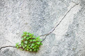 Plant growing out of an old wall — 图库照片