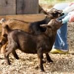 Постер, плакат: Bottle Feed Goats